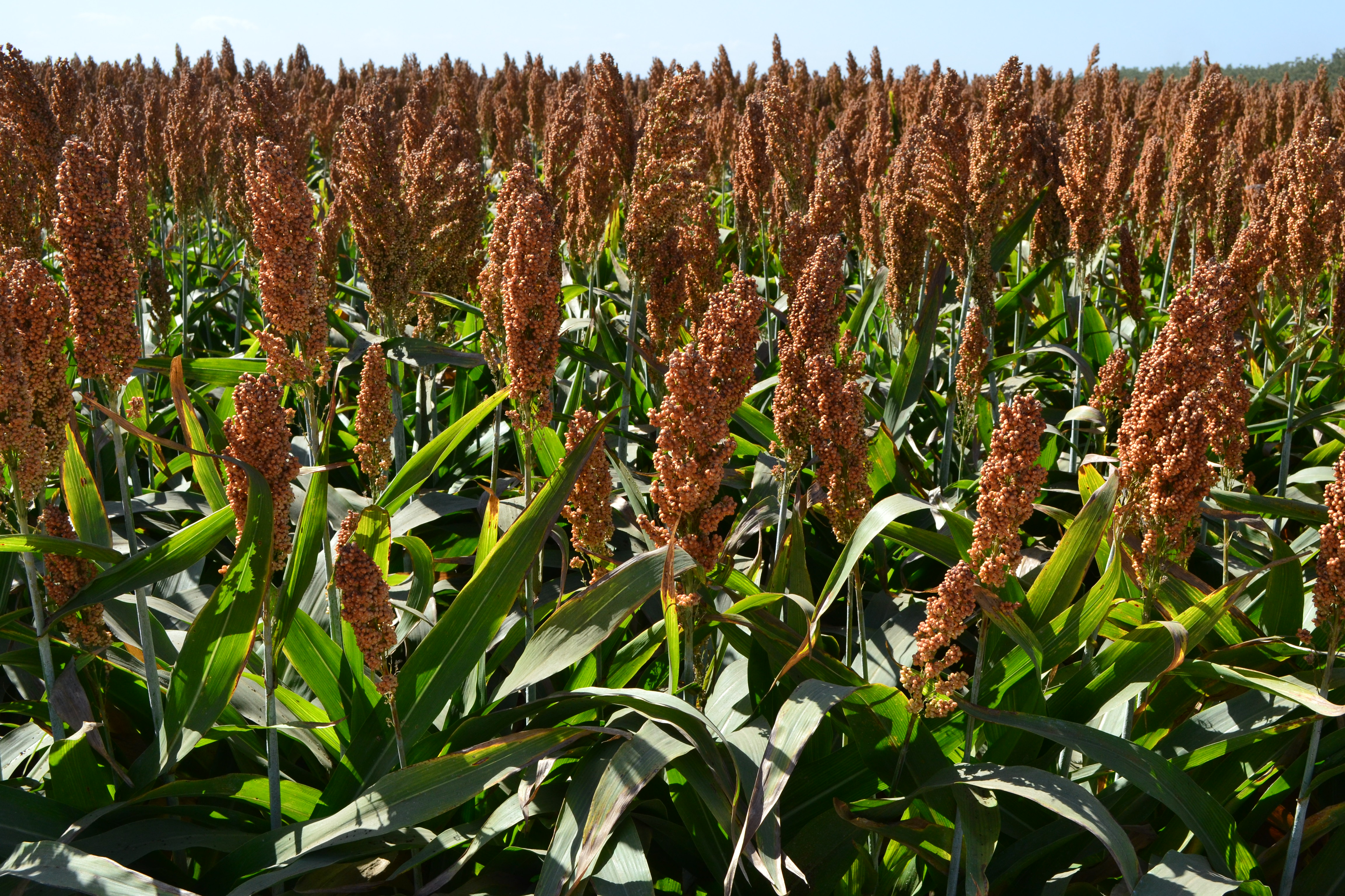 Sorghum Picture - Red River Commodities